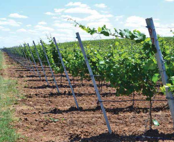 «Иприс-Профиль»: О том, на что ориентируются виноградари, когда выбирают шпалеру