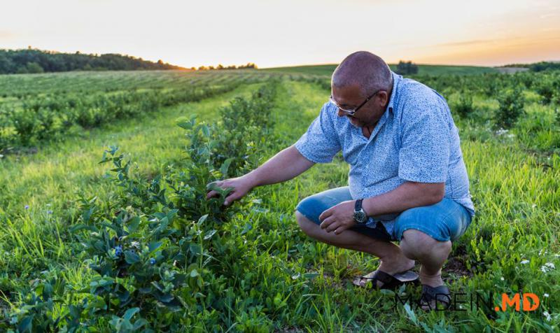 Успешный бизнес первого производителя голубики в Молдове