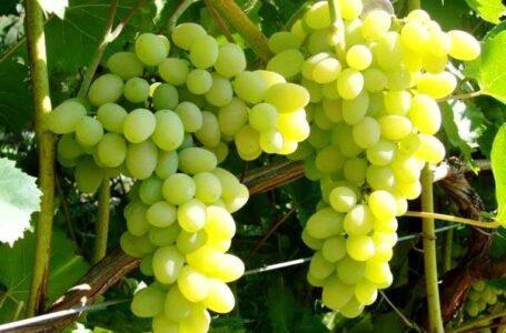 В Україні зібрано рекордний урожай винограду елітних сортів