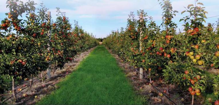 «МАЇС»: як виростити найкращі яблука для чудового соку