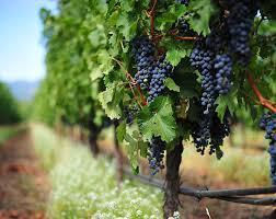 Зростання за межами досвіду: умови розвитку бізнесу з вирощування столового винограду в Україні