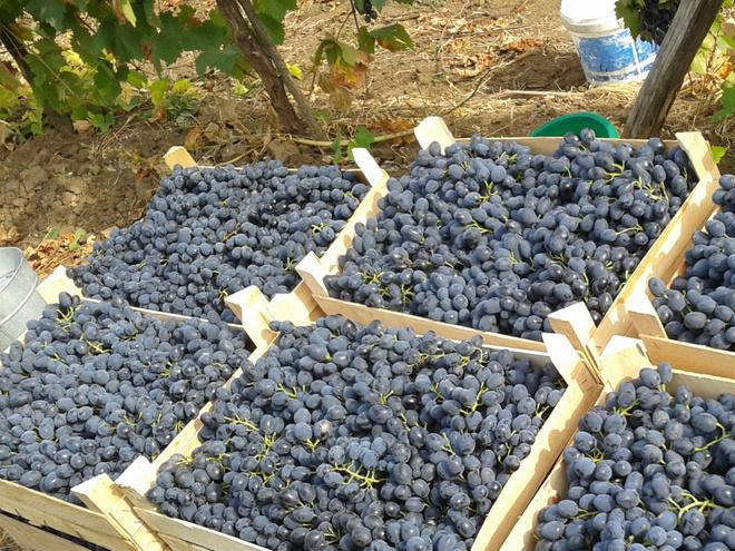 У Молдові прогнозують високий урожай столового винограду і складний сезон його реалізації