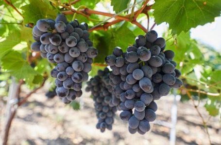 Дозревание винограда сорта Молдова задерживается на несколько недель