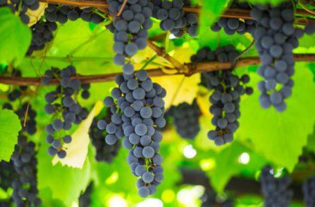 Через негоду українські винороби очікують поганий врожай винограду