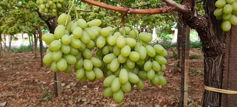 Італійські виробники столового винограду сподіваються на підвищення цін